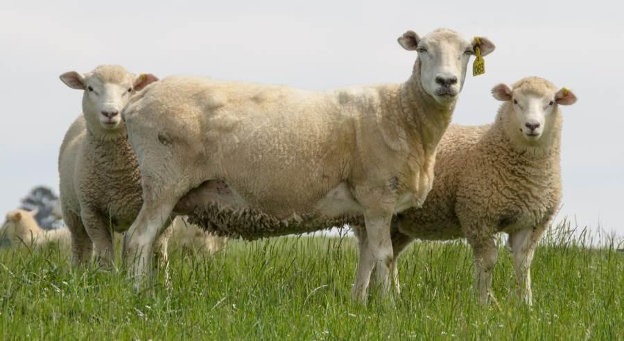 ewe-with-twins