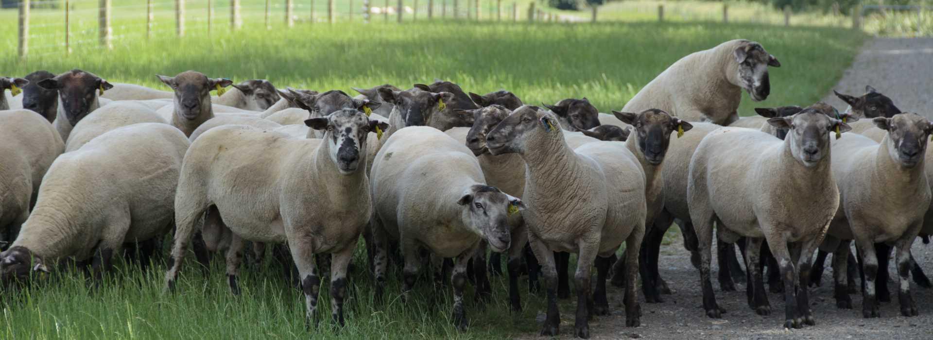 Texel Suffolk Rams